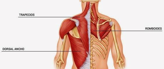 Tirón o Espasmo del Músculo Romboide